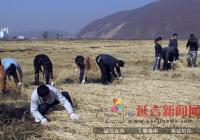 小营镇机关干部积极帮助农户抢收粮食