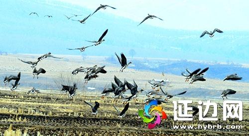 一群群大雁飞翔在珲春市敬信湿地上空